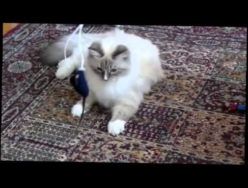 Siberian plays with a mouse